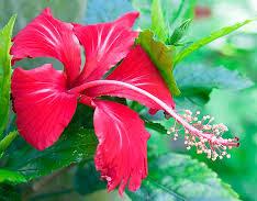 gudahal-flower