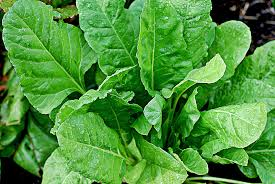 palak-spinach