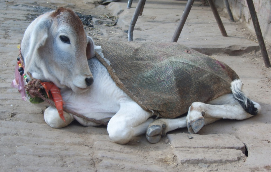 bachhiya-indian-cow-baby