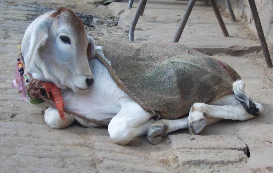 bachhiya-indian-cow-baby