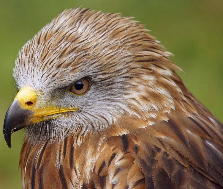buzzard-eagle